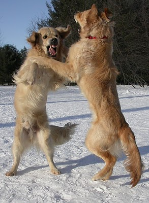 Two dogs boxing
