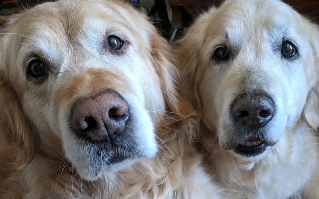 Two golden retrievers looking hopefully at you.